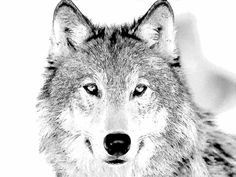 wolves coloring pages and big bad wolf on pinterest