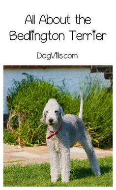 1000 Ideas About Hypoallergenic Dog Breed On Pinterest