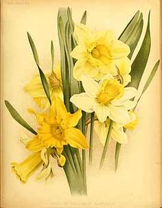 1000 Images About Vintage Daffodil On Pinterest