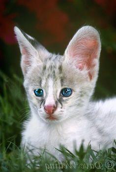 1000 images about savannah cat serval on pinterest savannah