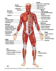 muscles coloring anatomy pinterest muscle coloring and anatomy