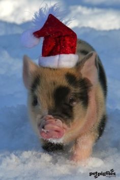 1000 Images About Micro Pigs At Christmas On Pinterest