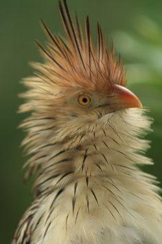 Image result for cuckoo bird