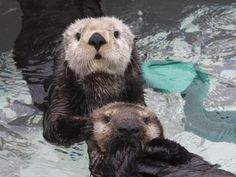 1000 Images About SEA OTTERS On Pinterest Sea Otter