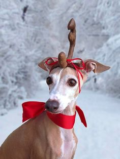 1000 Images About Italian Greyhounds On Pinterest