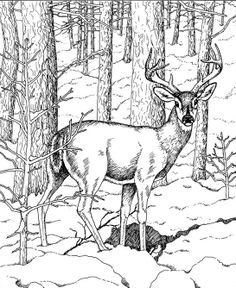1000 images about deer pics on pinterest deer coloring pages