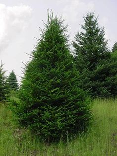 1000 Images About Trees Evergreens On Pinterest Blue