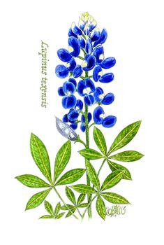 on pinterest flower texas bluebonnets and