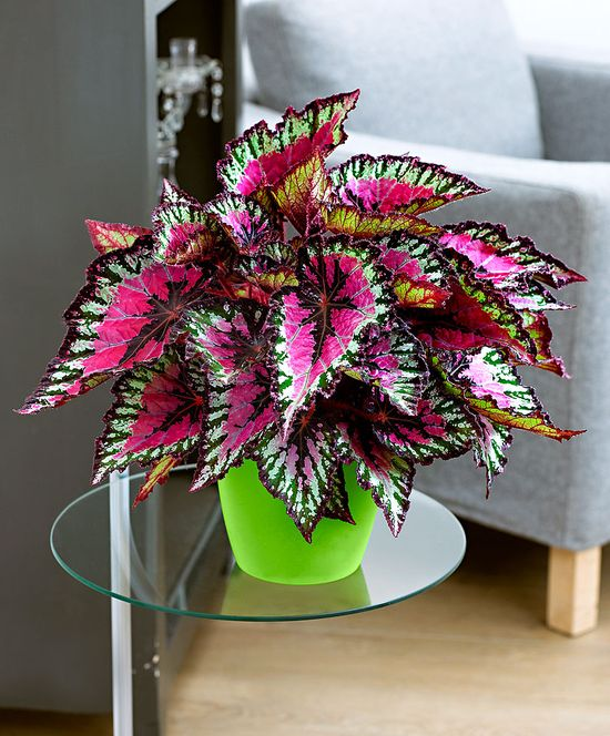 Rex Begonia – Indoor Plant love so pretty