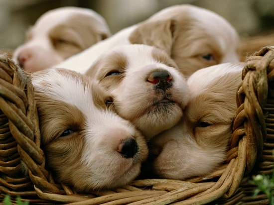 "run a google image search for ""basket of puppies"" and get lost in the"