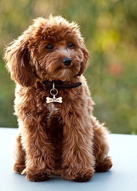 cavapoo…. Cavalier King Charles Spaniel and a Poodle mix.