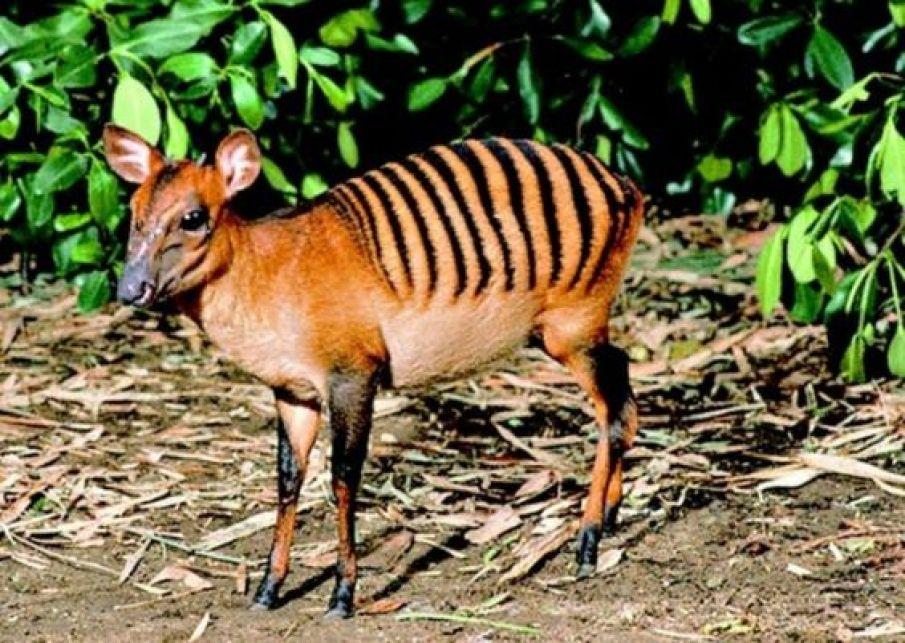 Zebra Duiker worlds strangest animal