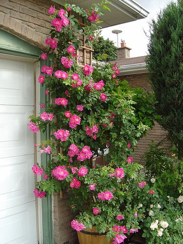 William Baffin roses climbing - a favorite, easy rose.: