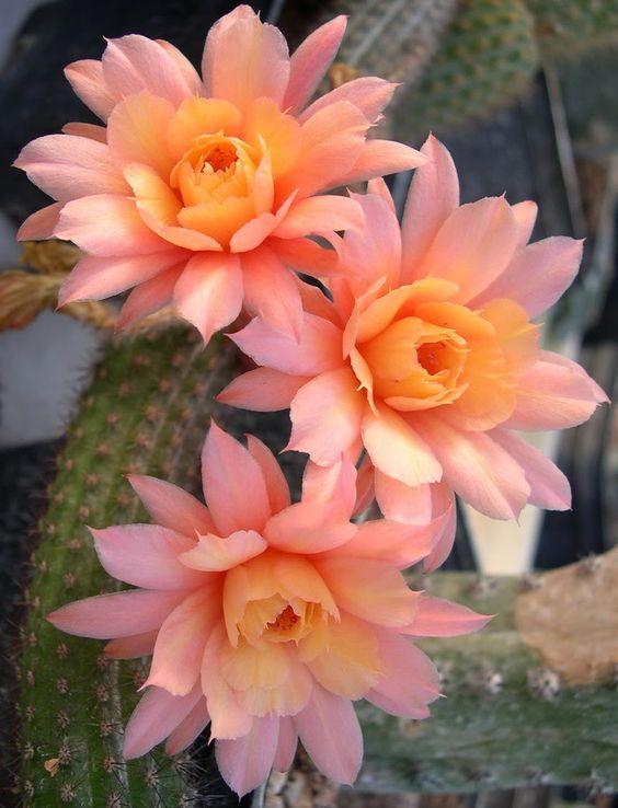 I cactus, così come le succulente in generale, possono crescere bene in qualsiasi luogo, a patto che vi sia una buona esposizione alla luce solare diretta
