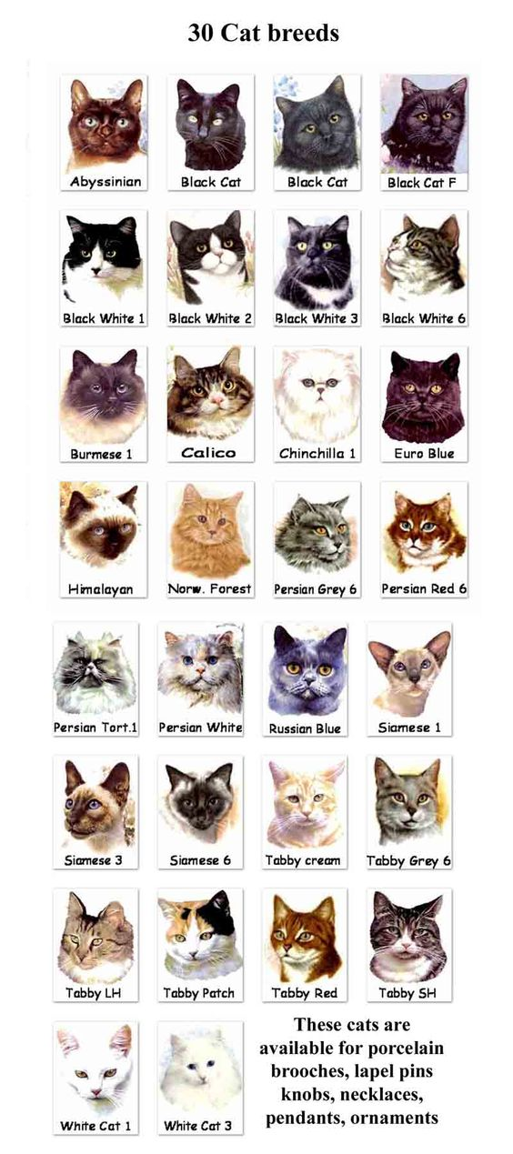 Top Unusual Cat Breeds On Earth. Persian, Cat breeds and