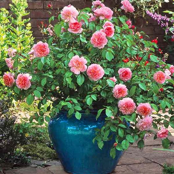 'Anne Boleyn' is exceptionally free-flowering, with large sprays of pink flowers; David Austin Roses.: