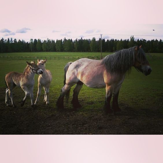 Best buddies ???? #summer #gunillaberg #TageAndersen #nature #beauty #garden #instagood #Sweden #småland #jönköping #pictureoftheday #farming #farmlife #oldschool #belgian #ardener #horse: