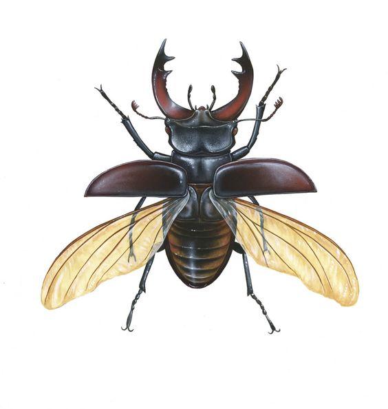 Stag Beetle In Flight Male 300 Dpijpg 9601012 Bug