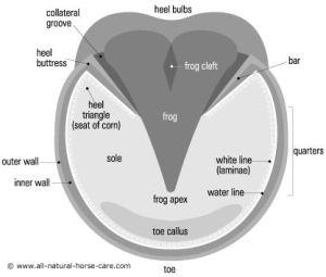 Diagram of a healthy horse hoof © wwwallnaturalhorse