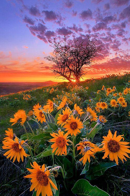 Sunflower fields, Sunflowers and Fields on Pinterest