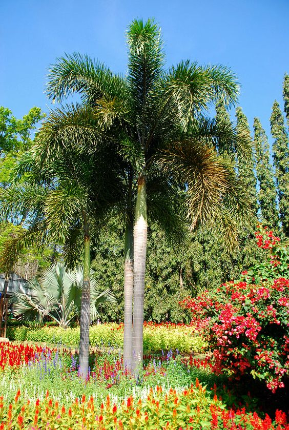 How To Take Care Of Foxtail Palm Trees Trees, The o'jays