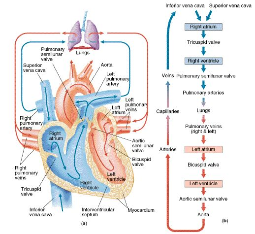 Blood flow of heart | blood flow physiology path of blood flow diastole systole Trace a drop of blood through the heart. After 21 years, I can still do it!: