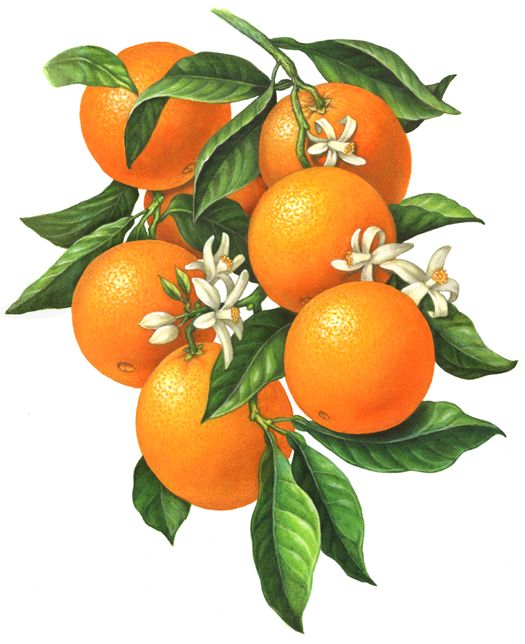 An orange branch illustration of six oranges with orange blossoms and leaves.: