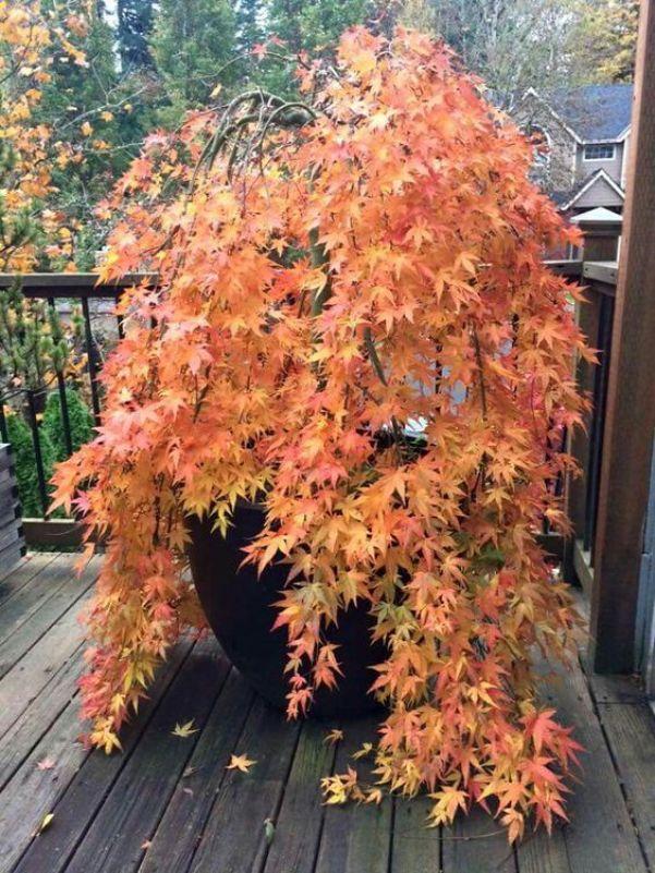 Acero giapponese come coltivarlo in vaso guida giardino for Acero giapponese nano