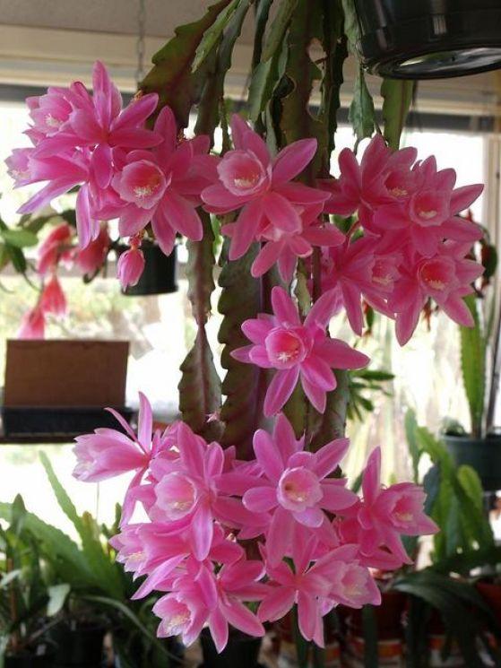 Come coltivare il cactus orchidea guida giardino - Orchidee da esterno ...