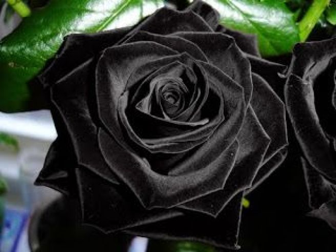 black dragon rose - wow: