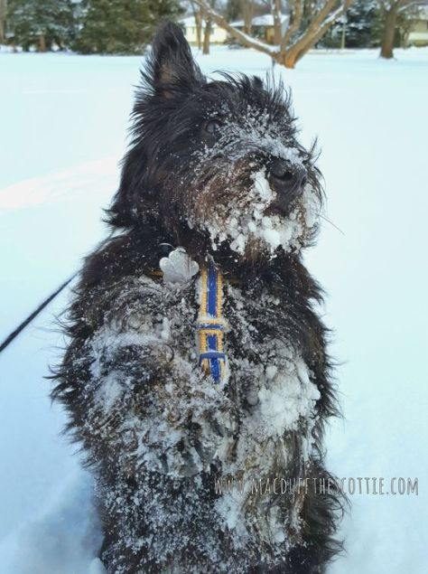 Snow Scottie