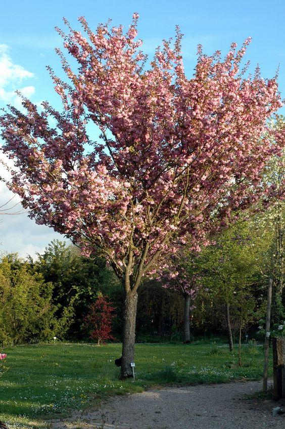 Prunus serrulata 'Kanzan' Japáncseresznye FÁK