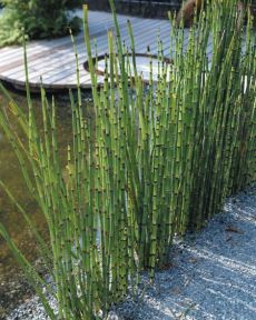 equisetum hyemale We sell this in our store www.teresasplants.com in the Spring then again in Fall to hot to ship right now.