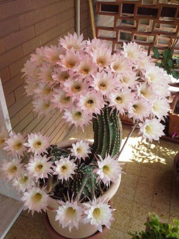 Far fiorire le piante grasse alcuni consigli guida giardino for Piante grasse fiorite da esterno