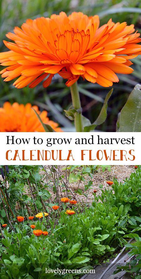 How to grow Calendula officinalis, a golden edible flower