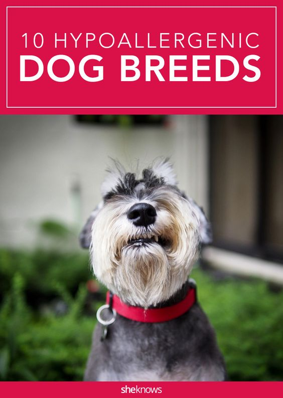 Image Result For Good Dogs For Allergy Sufferers
