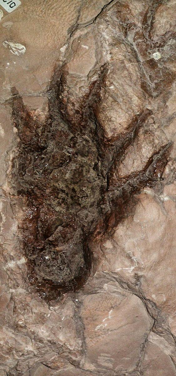 "Dimetrodon footprint Dimetrodon meaning ""two measures of"