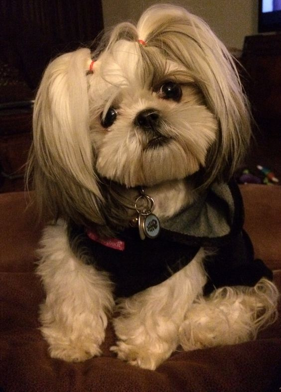 Pigtail Shih Tzu And Puppys On Pinterest