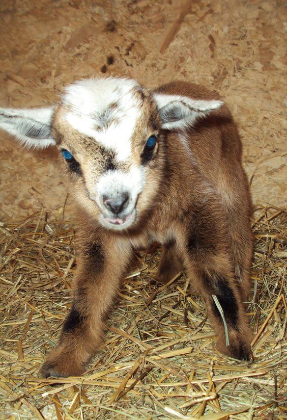 Nigerian dwarf goats, Goats and Pygmy goats on Pinterest