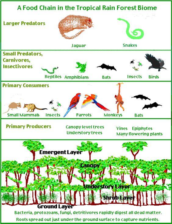 tropical rainforest food web Rainforest Pinterest
