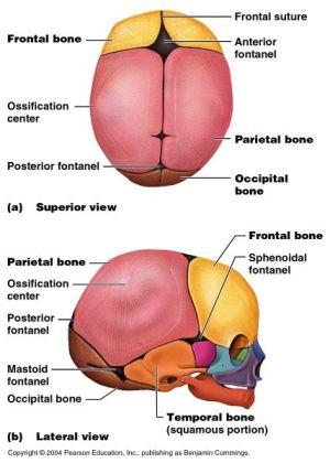 fontanels of the fetal skull | anatomy gross anatomy physiology cells cytology cell physiology