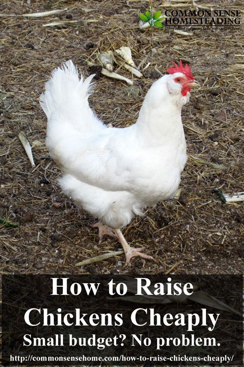 How to raise chickens, Budget and Coops on Pinterest