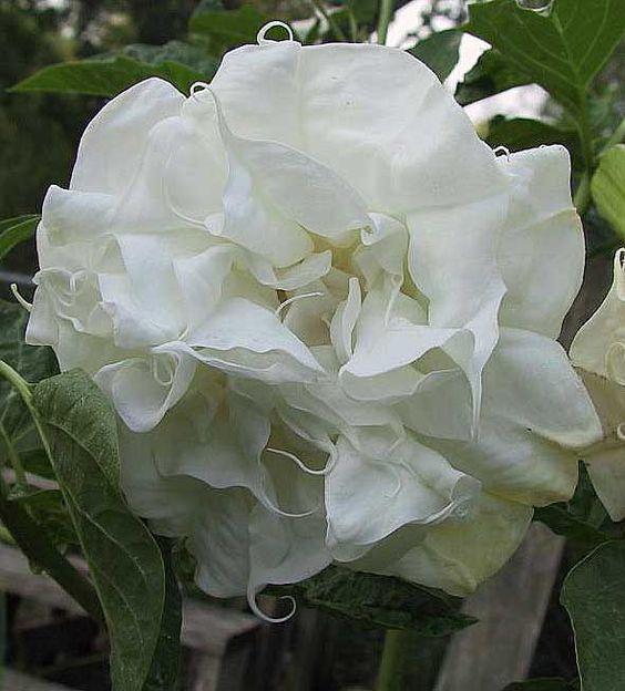 Дурман - Мир в образе цветка: