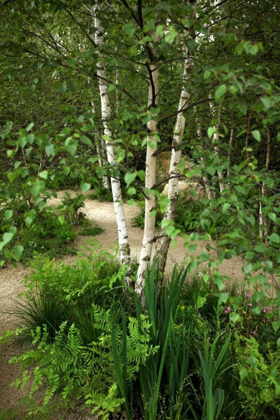 Sarah Price Chelsea Flower Show Multistemmed birch