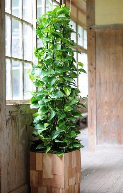Il Photos, o Epipremnum aureum, è una stupenda pianta sempreverde molto utilizzata a scopo ornamentale