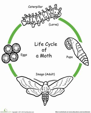 life cycles worksheets and first grade on pinterest