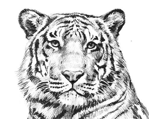 coloring pages tigers and coloring on pinterest