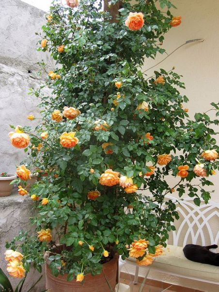 Growing Austin roses in containers in a Mediterranean climate: