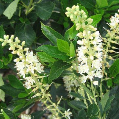 Il genere Clethra offre diversi arbusti che possono crescere nelle zone temperate e non