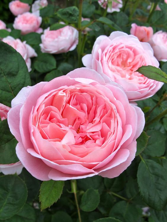 ~English rose 'Queen of Sweden':